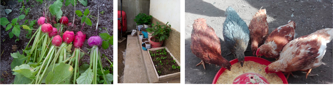 Three photographs side by side show: 1) pink raddishes growing in a garden. 2) seedlings planted in a wooden box growing throug the soil. 3) Four chickens pecking feed from a bowl.